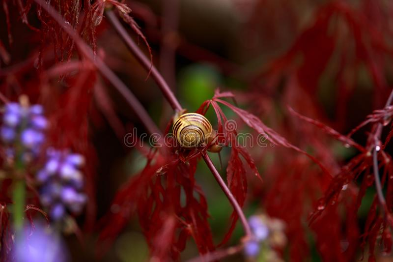 Snail sitting on Red foliage of the weeping Laceleaf Japanese Maple tree Acer palmatum in garden royalty free stock photo