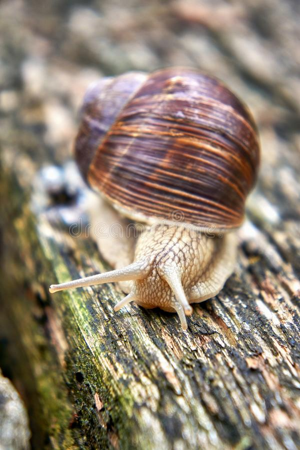 Snail with snail shell on old wood. Pulmonary gastropods mollusks, family Helicidae stock image