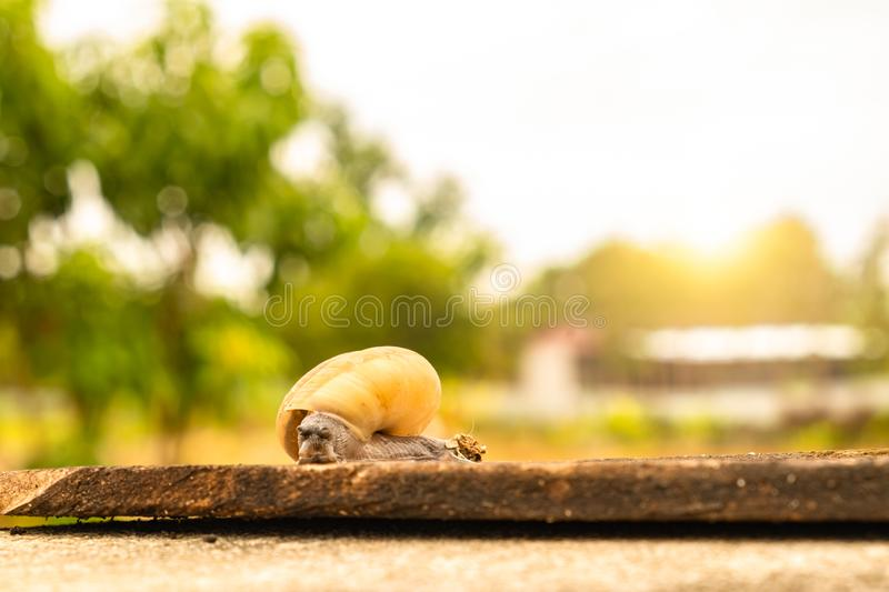 Snail stand still do not move at wood plate. Helix pomatia, snail stand still, not moving at wood plate on cement floor with blurred background and sunshine royalty free stock photography