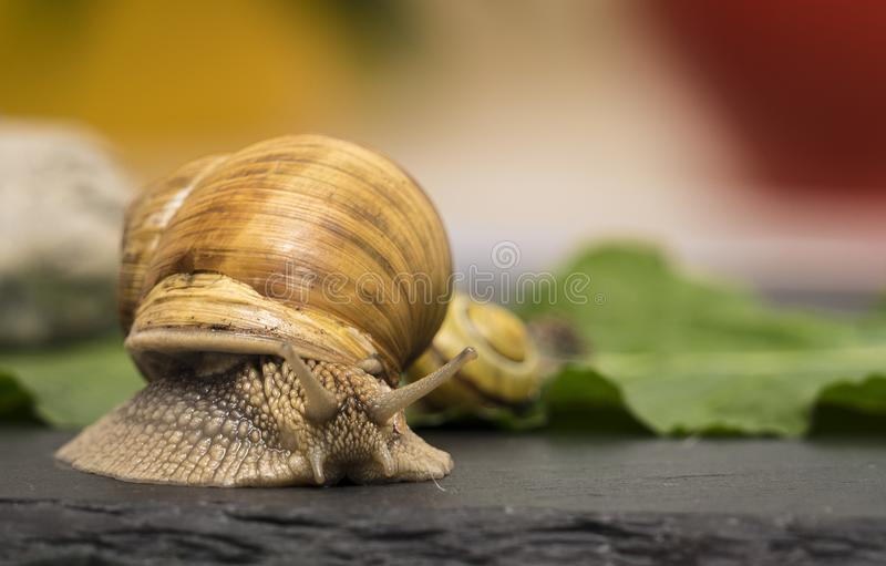A snail on a stone. A snail is on a stone on the green background stock photo