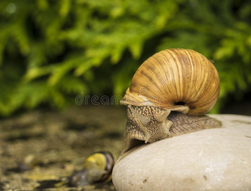 A snail on a stone. A snail is on a stone on the green background royalty free stock image