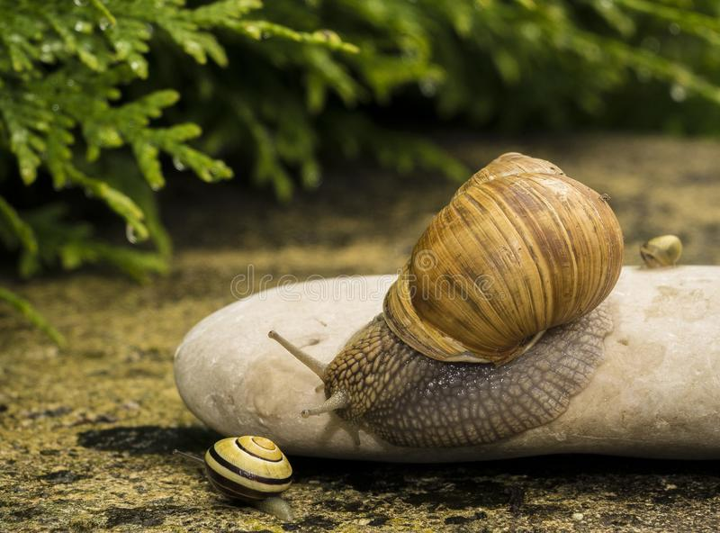 A snail on a stone. A snail is on a stone on the green background royalty free stock photo