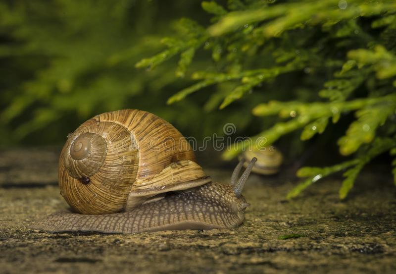 A snail on a stone. A snail is on a stone on the green background royalty free stock images