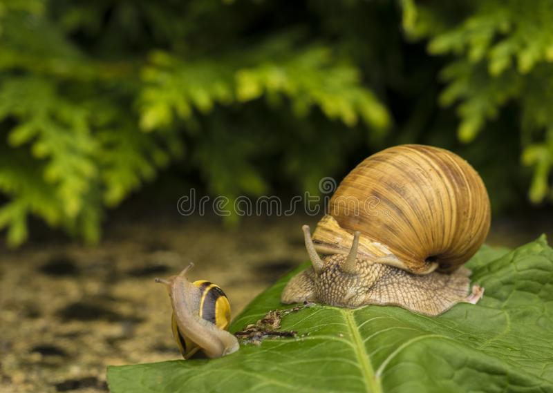 A snail on a stone. A snail is on a stone on the green background stock images
