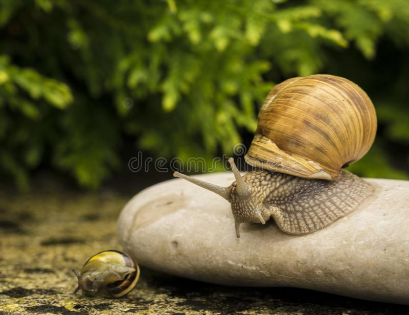 A snail on a stone. A snail is on a stone on the green background stock image