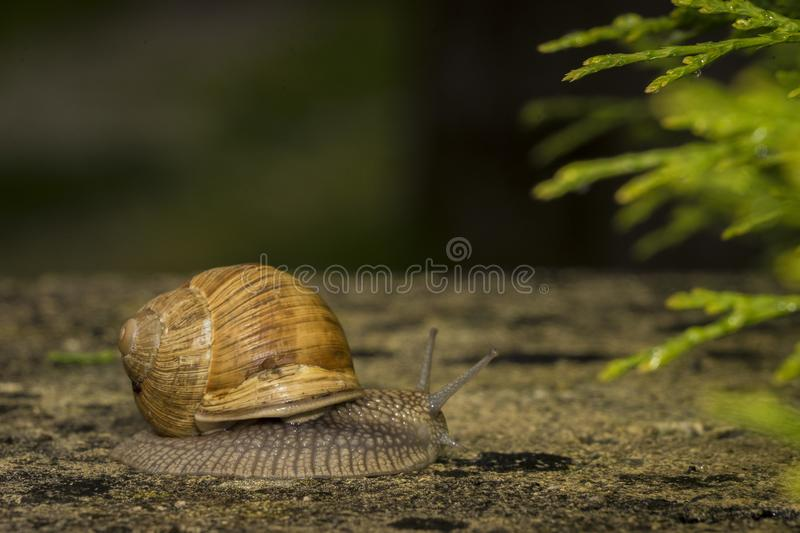 A snail on a stone. A snail is on a stone on the green background royalty free stock photography