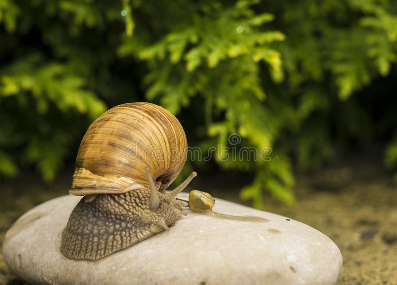 A snail on a stone. A snail is on a stone on the green background royalty free stock photos