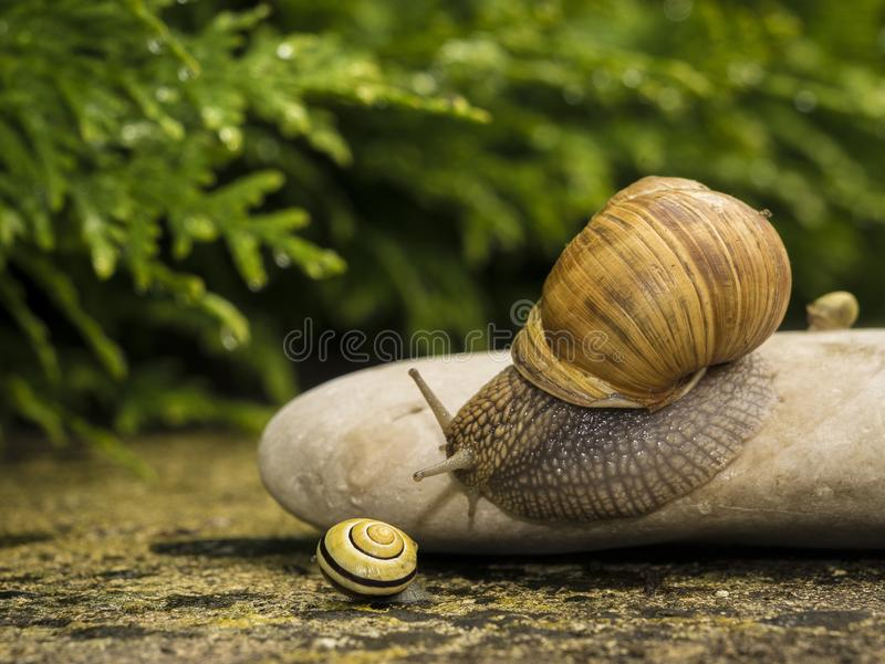 A snail on a stone. A snail is on a stone on the green background stock photos