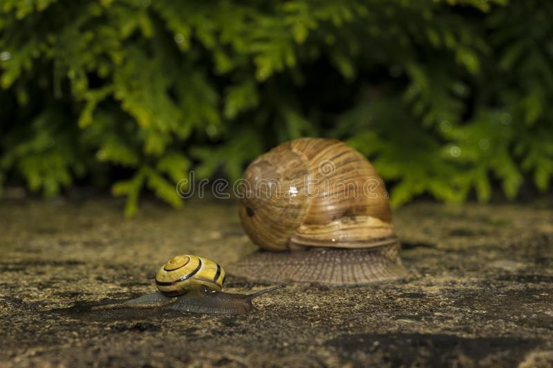 A snail on a stone. A snail is on a stone on the green background stock photography