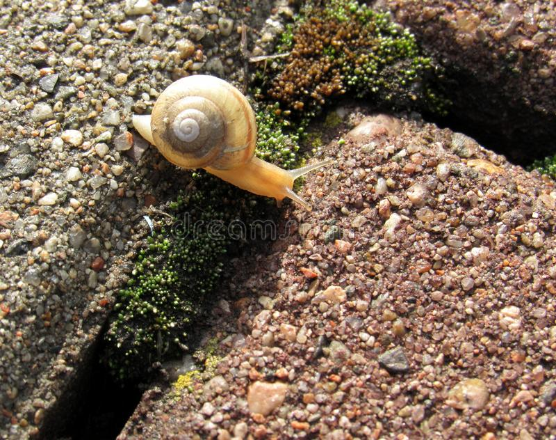 A snail. Is between 2 stones royalty free stock photos