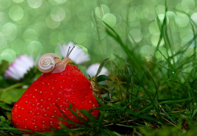 Snail on strawberry royalty free stock images