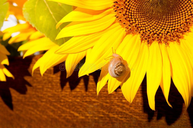 Snail on sun flower. Vivid colors - hard sunlight royalty free stock photography