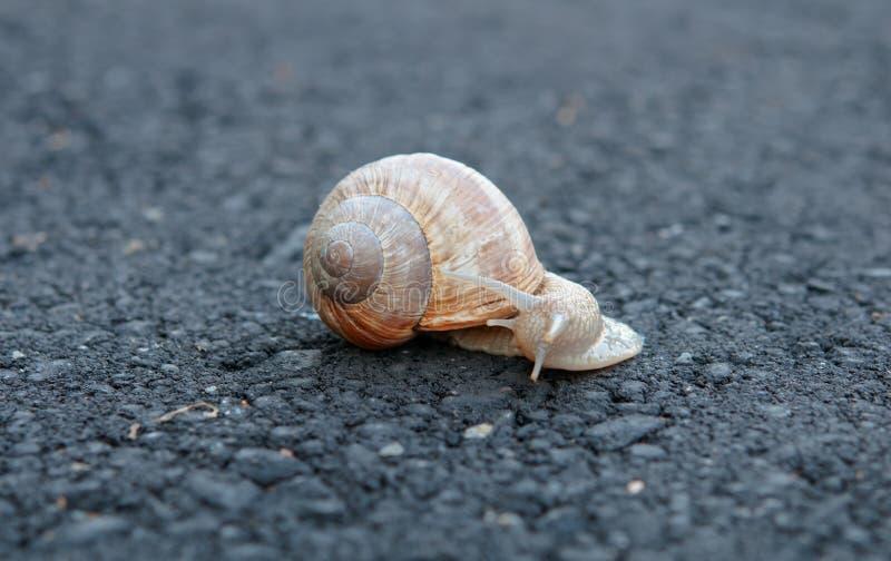 Snail trail. On asphalt, single snail royalty free stock images