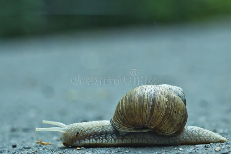 Snail travels across road stock images