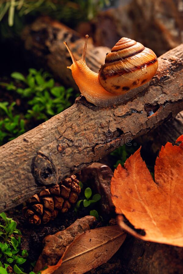 A snail travels in the garden along an old tree branch. Macro shot. World of macro photography. Background for desktop smartphone or tablet stock images