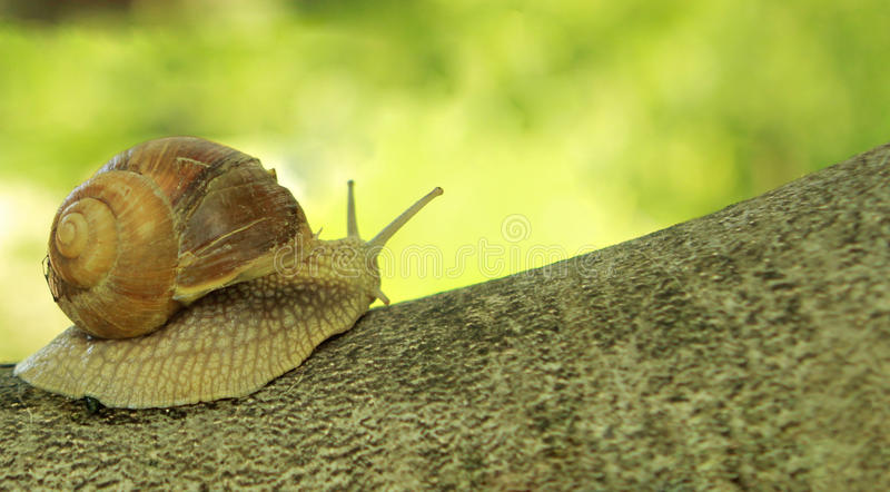 Snail on tree royalty free stock images