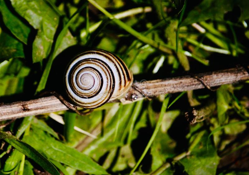Snail on a tree branch. A snail on the tree branch with green leaves in background stock images