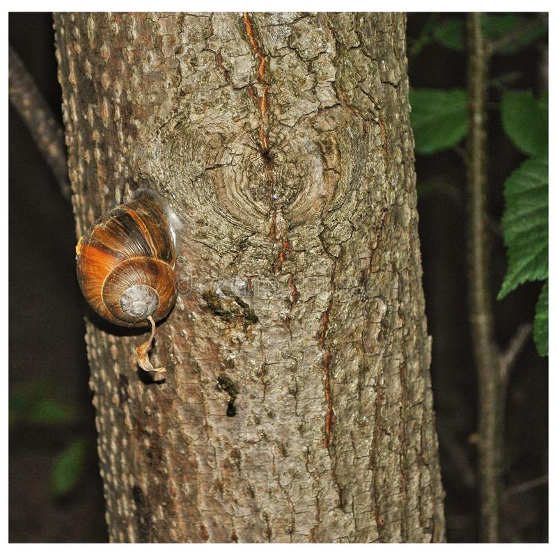 Snail on the tree royalty free stock photography