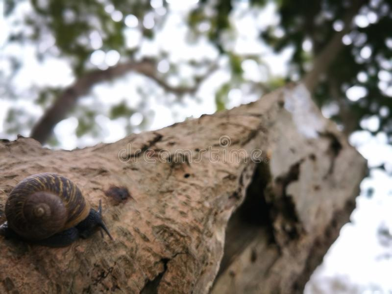 A snail in a tree royalty free stock image
