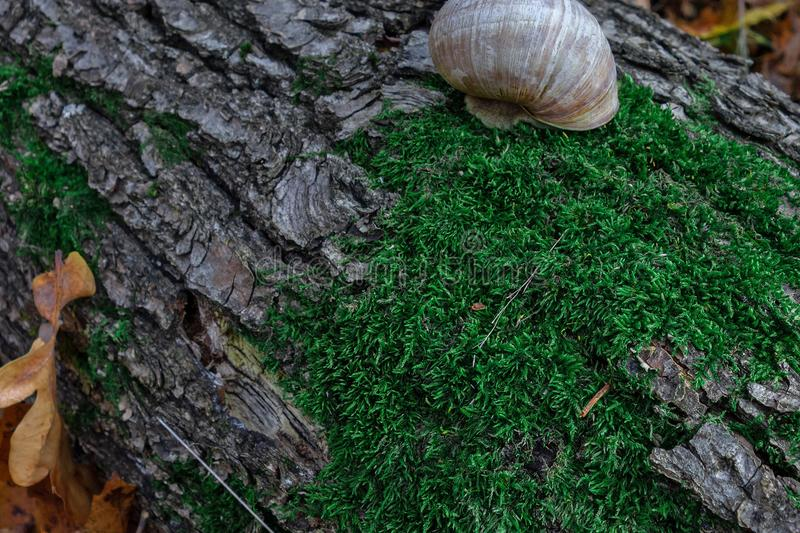 Snail on a tree trunk or log covered by green moss. Closeup view of small land gastropod mollusk in autumn forest. Concept of. Calmness or slow lifestyle royalty free stock photography