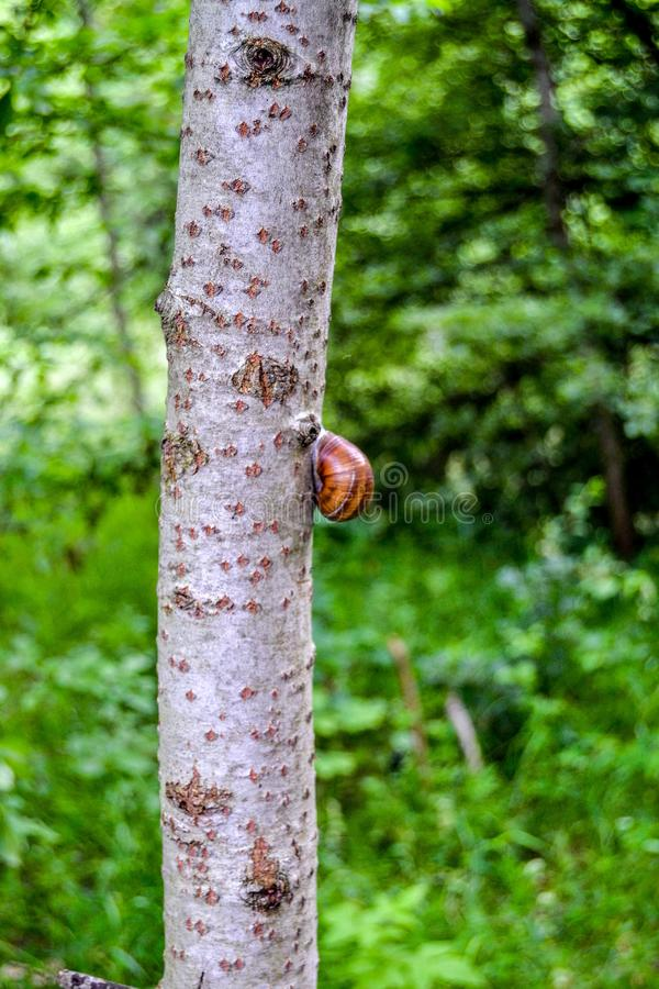 Snail on a tree trunk. Blurred background,green forest, beautiful nature stock photography