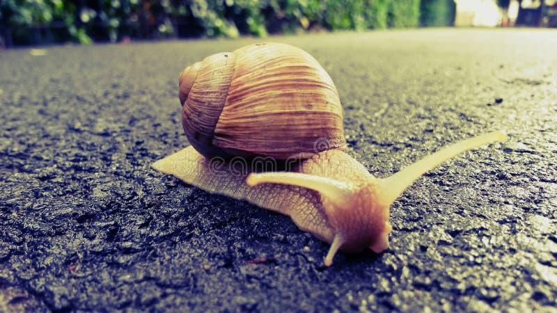 The snail royalty free stock photos