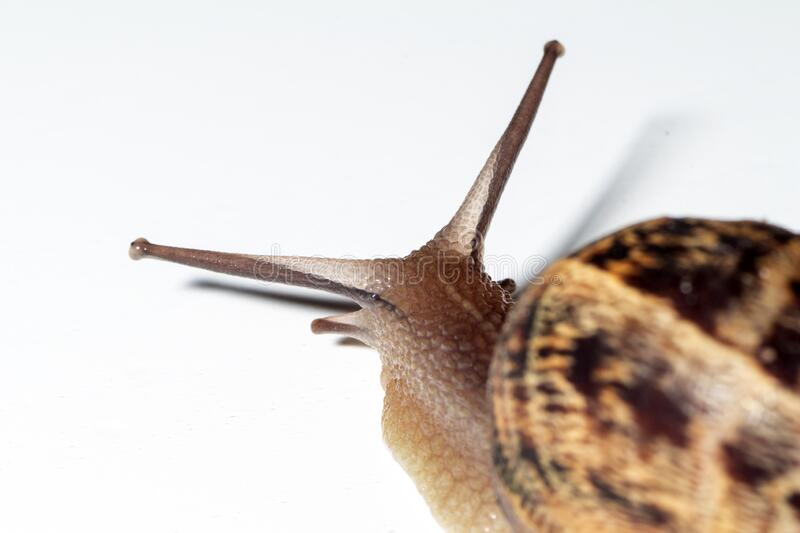 Snail walks slowly. With white background royalty free stock photography