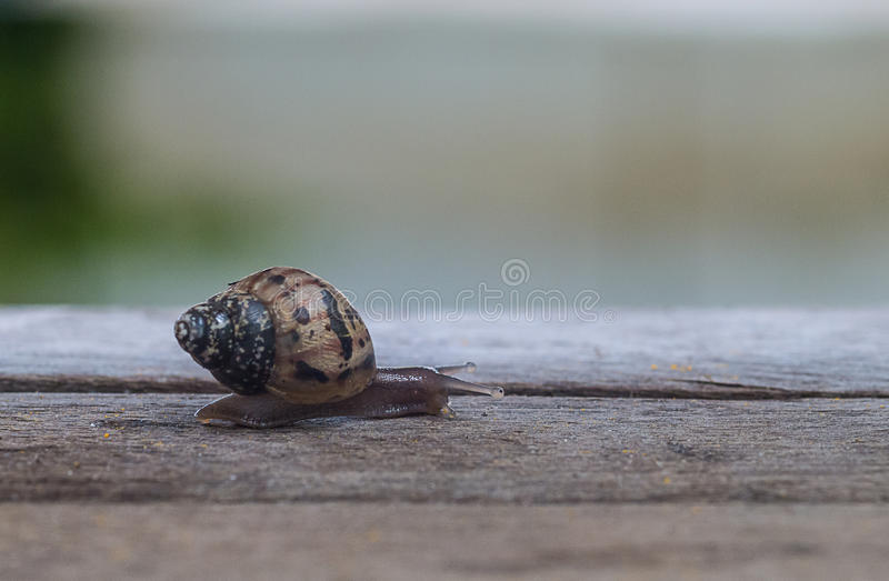 A snail walks on the wood stock images