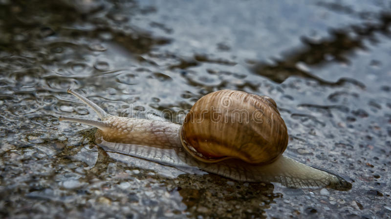 Snail in the water. Snail moving slowly on the wet pavement stock photo