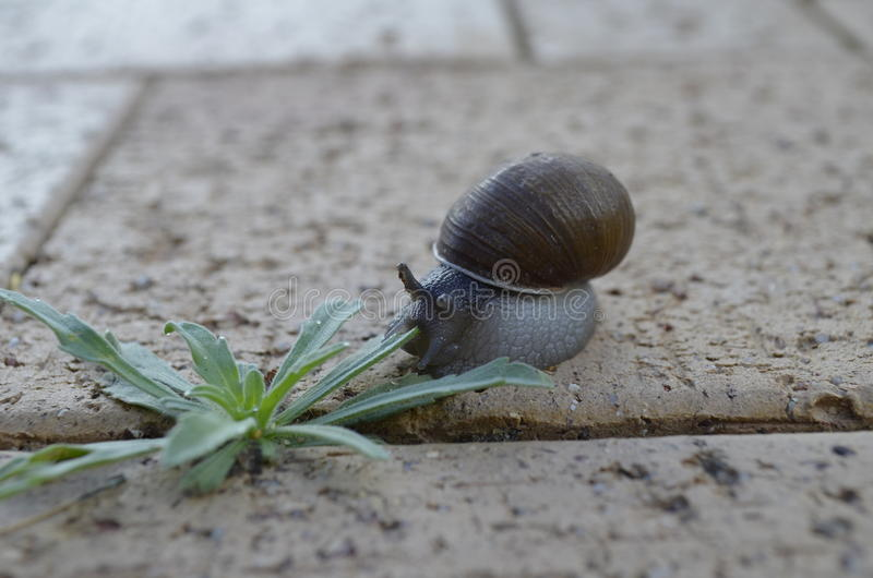 Snail and weed on sidewalk. Land snail with weed growing on dirty sidewalk royalty free stock photography