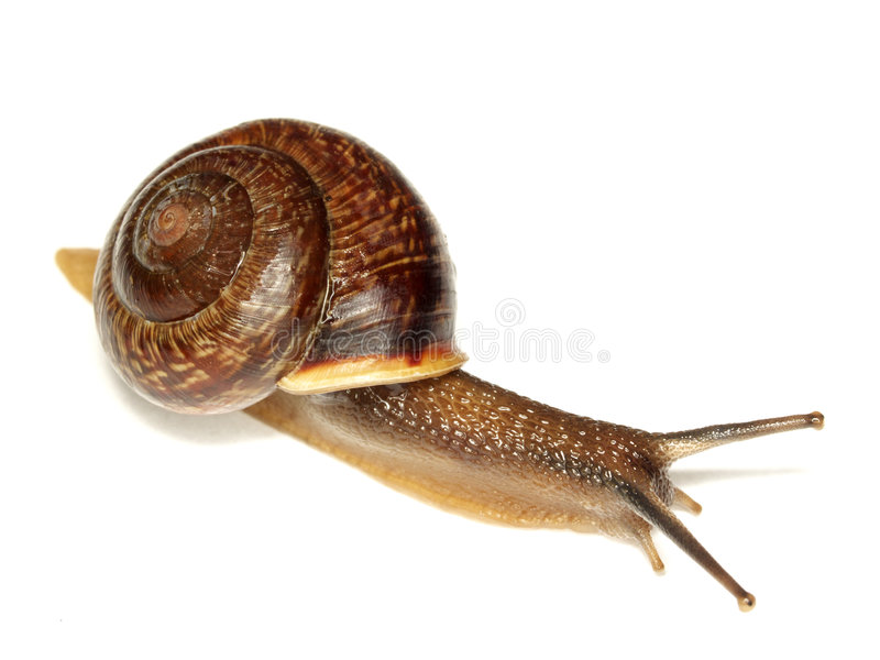 Download Snail On White Royalty Free Stock Images - Image: 6261199