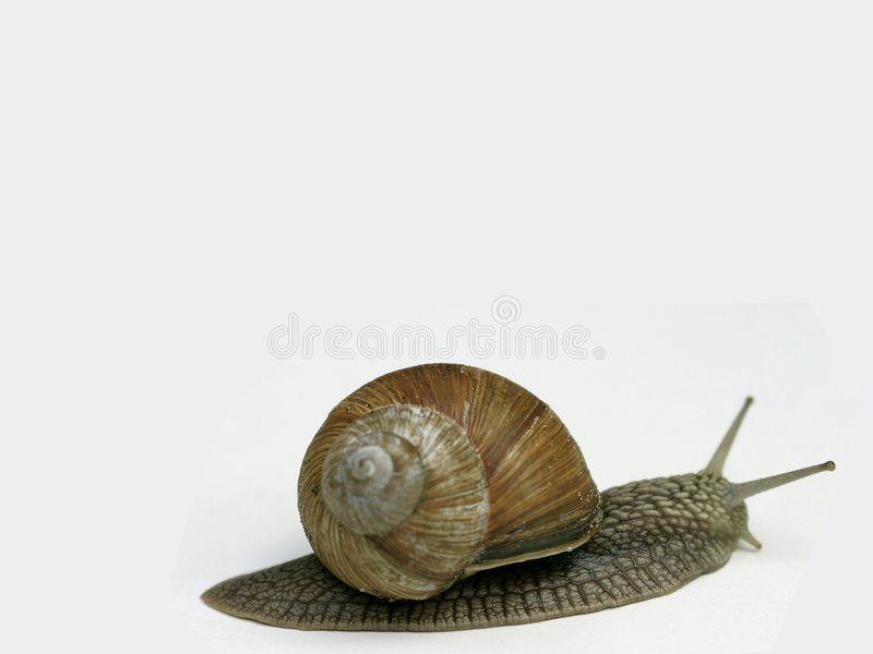 Snail On White Background Stock Photography