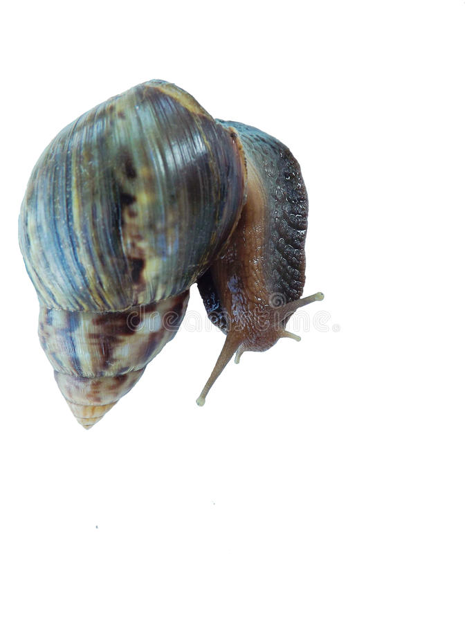 Snail on white background stock image