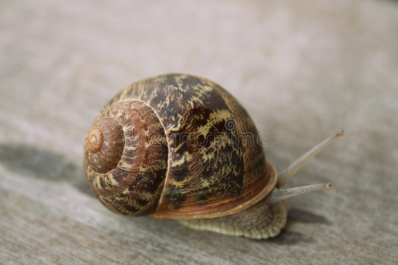 Snail on wood stock photography