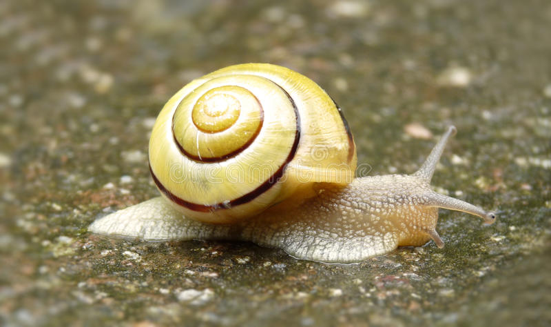 Download Snail with yellow shell stock photo. Image of yellow - 14486936