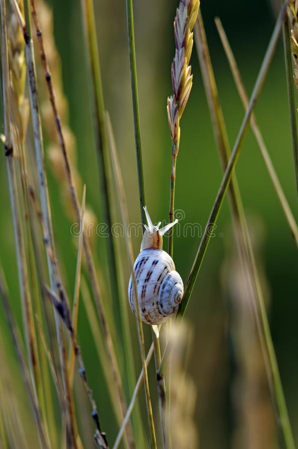 Snail in swamp of Charente Maritime. Snail in the Yves swamp. Charente Maritime coast stock photos