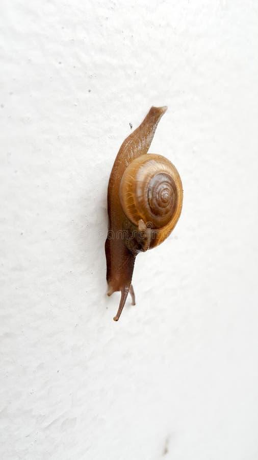Snaill que rasteja na parede branca Esta foto disparada pelo telefone celular imagem de stock royalty free