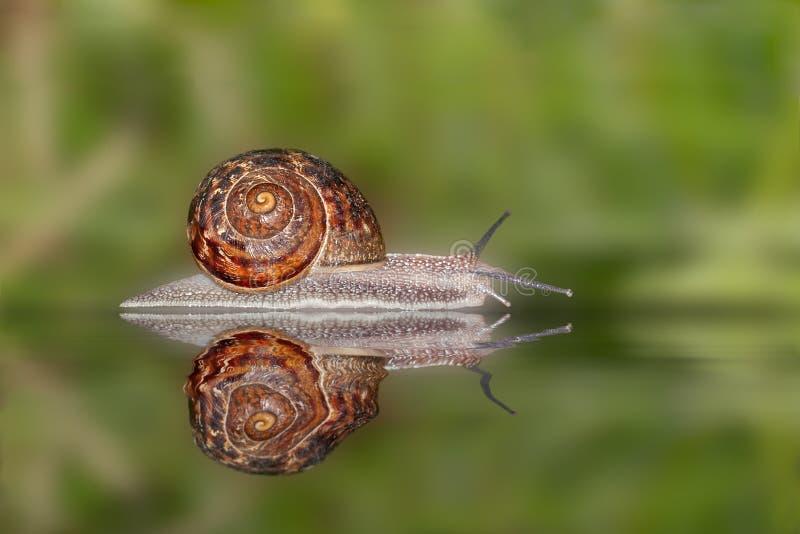 Snailreflexion fotografering för bildbyråer