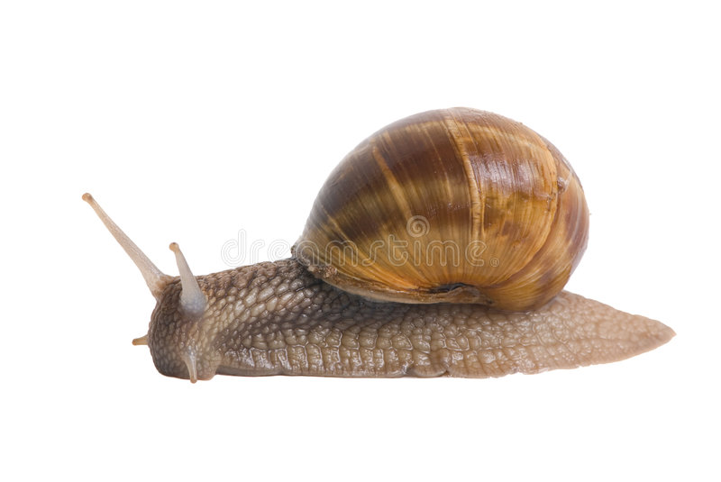 Download Snails stock photo. Image of metaphor, speed, shell, victory - 2582472
