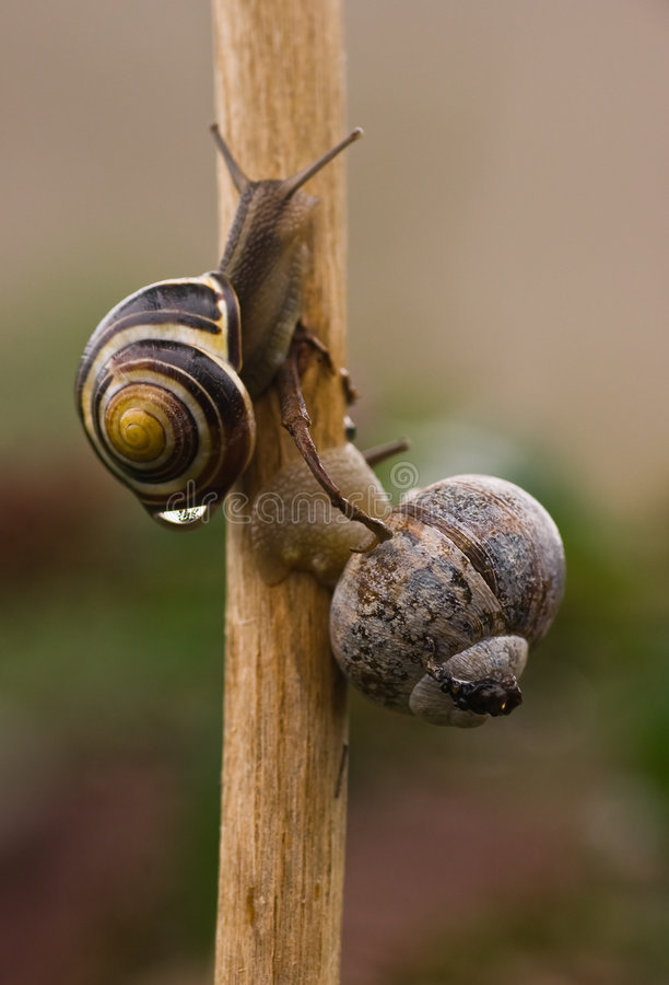 Snails. Two snails climbing a branch in the rain royalty free stock image