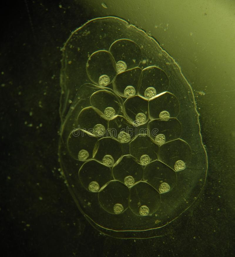 Snails caviar. 4 mm long stock photography