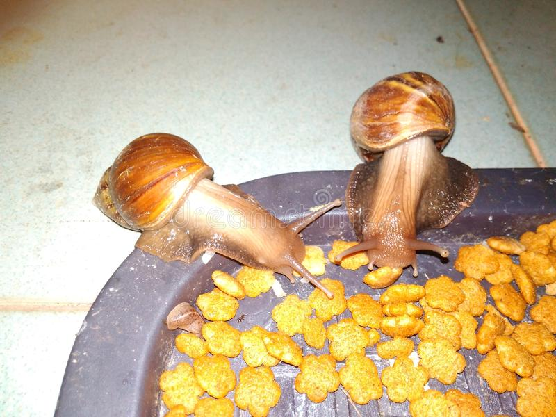 Snails eating cat& x27;s food royalty free stock photo