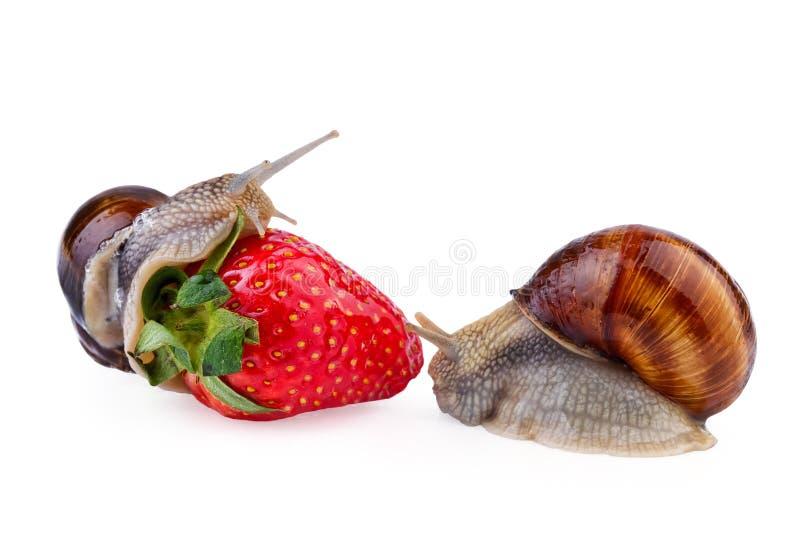 Snails garden pest. Snails as garden pest isolated on white background stock photo
