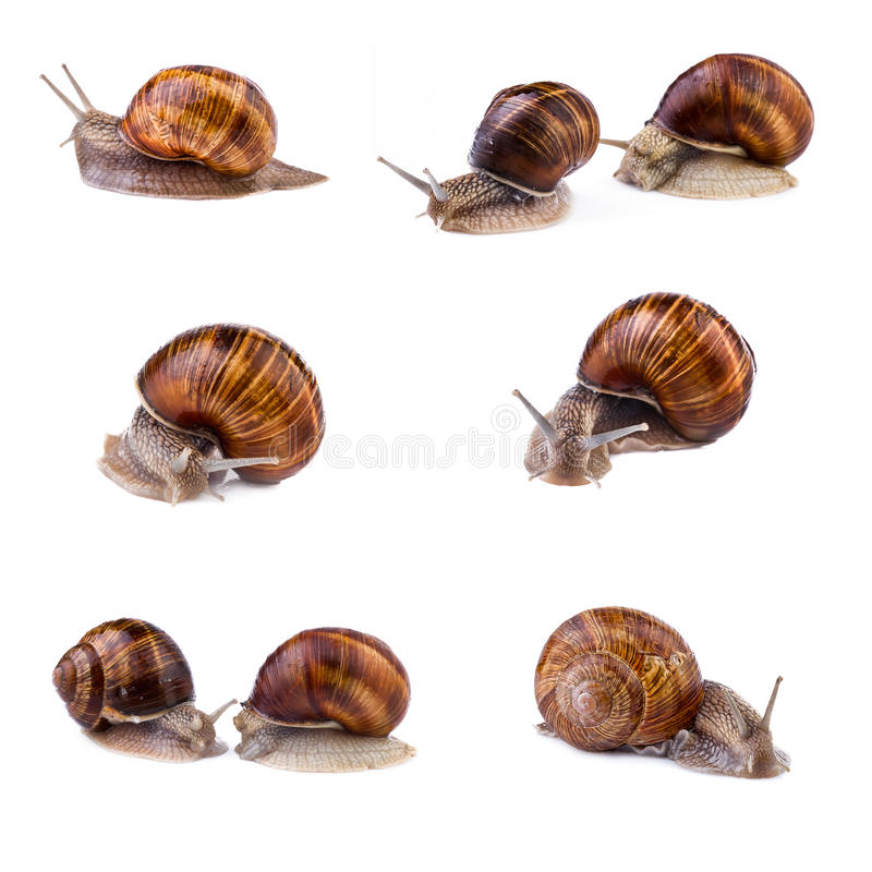 Snails, garden snail collection. Snails (Helix pomatia) isolated on white background. Snails, garden snail collection. Snails (Helix pomatia) isolated on white stock photography