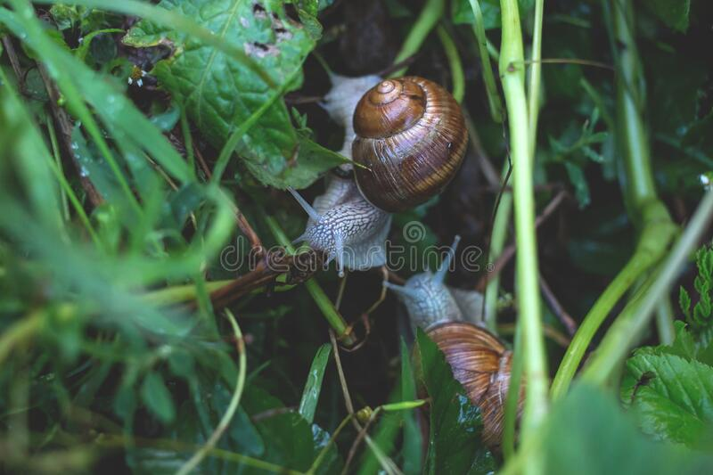 Snails on grass royalty free stock image