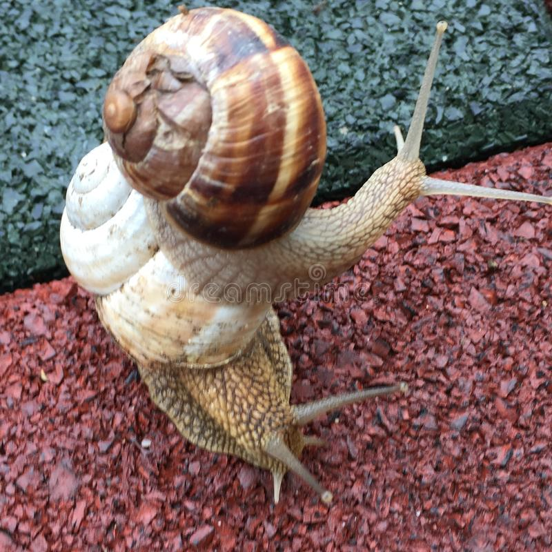 Snails look so much like humans royalty free stock photos