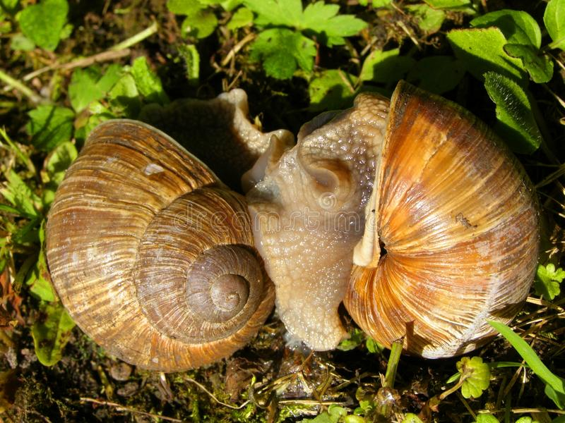 Snails in love stock photo