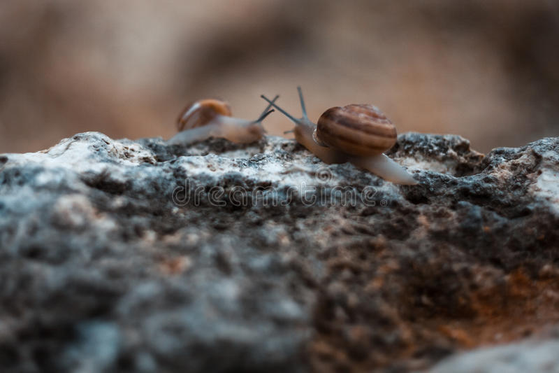 Snails. Meeting two snails on the surf of stone stock photo