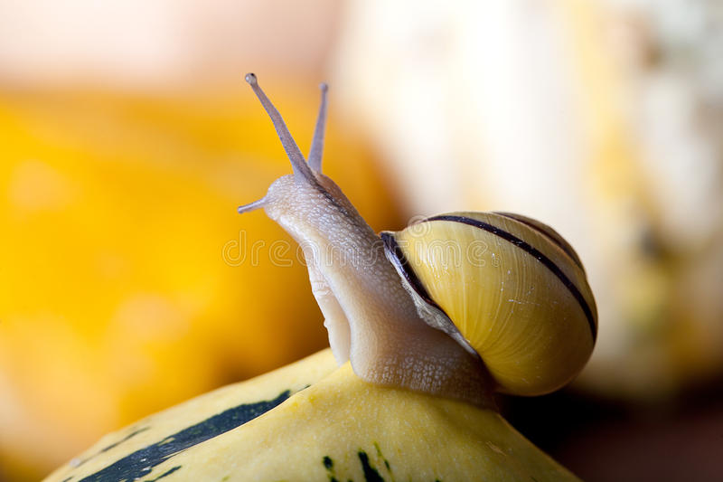 Snails and Pumpkins. Autumn Image with small banded garden snails and Pumpkins royalty free stock image