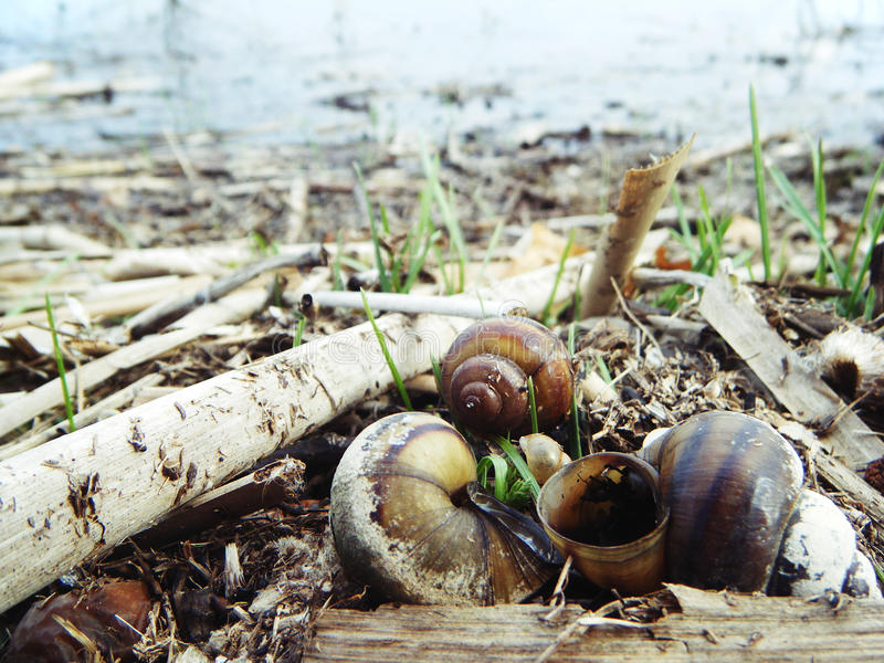 Snails in the river. Spring. stock images